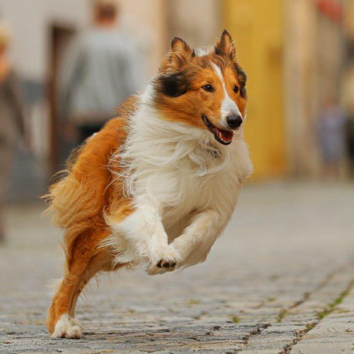 Lassie - Eine abenteuerliche Reise, Ruf der Wildnis, Einsam Zweisam